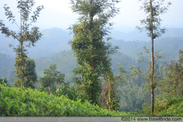 Tea Plantations in Kerala Wayanad